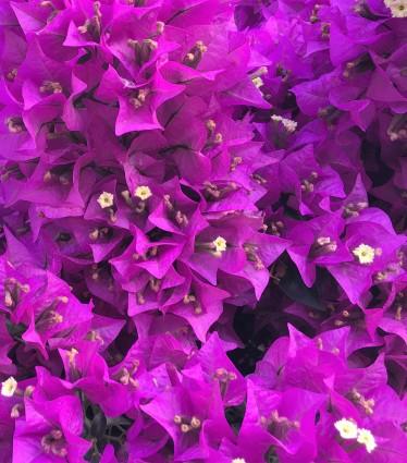 flor-lila-casa