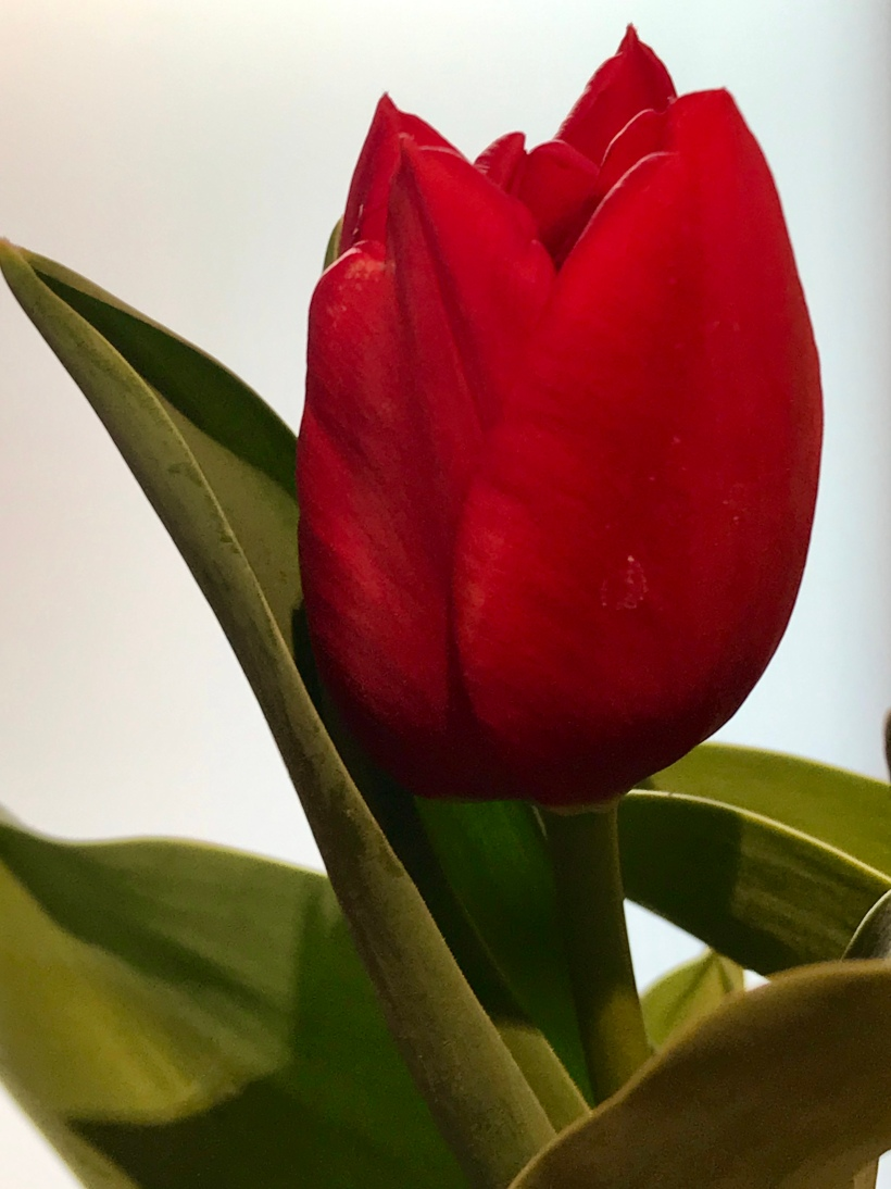 El tulipán como símbolo de la enfermedad de Parkinson
